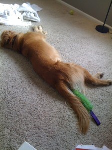 Golden Retriever Finn sleeping as usual