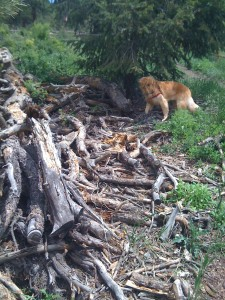 Puppy Exploring the pine wood piles in the park