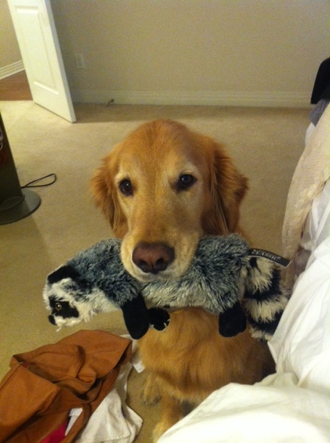 Finn the golden retrieved with a raccoon water bottle toy